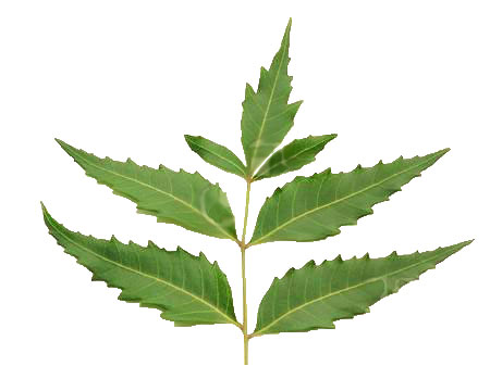 how to eat neem leaves